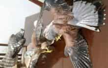 فروشنده پرندگان خشک شده در عجبشیر دستگیر شد