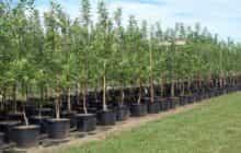 شهردار: تبریز به ۶ میلیون اصله درخت نیاز دارد