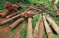 قطع بی رحمانه درختان جنگلی