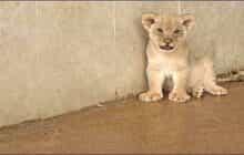 توله شیرهای باغ وحش تبریز نارس به دنیا آمده بودند!