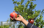 برداشت بیش از ۷۰۰۰ تن انار از باغات آذربایجان شرقی
